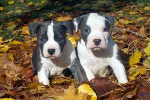 cachorros American Staffordshire Terrier
