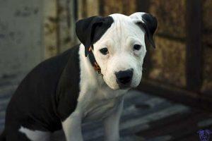 Cachorro de American Pitbull Terrier